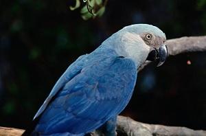 Spix_Macaw