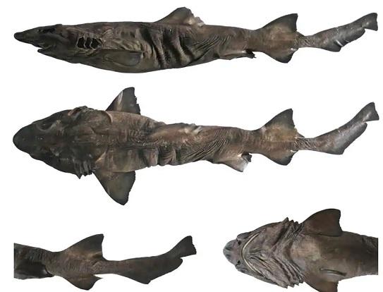 New species of shark identified in Indian Ocean