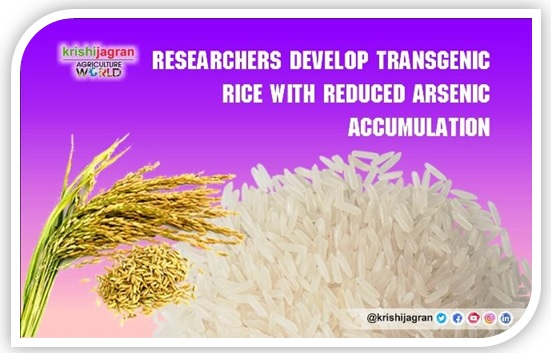 Transgenic rice with reduced arsenic accumulation