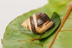 Hawaiian tree snail