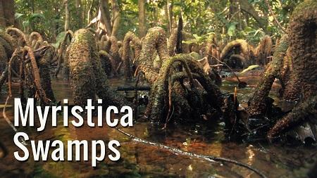 myristica swamps