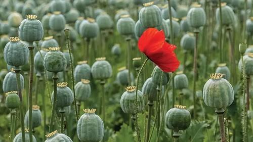 opium cultivation in kashmir